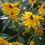 150922-gelbeblumen-hf-263-web